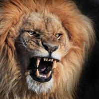angry-lion-funny-angry-animals-pics