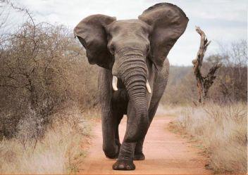 elephant-qui-charge barrit